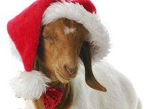 Goat dressed up with santa hat. South african boer goat doeling dressed up ln santa hat on white background Royalty Free Stock Photo