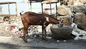 Goat drinking from a stone bowl on a street in Mumbai while people pass by. MUMBAI, INDIA - 9 JANUARY 2015: Goat drinking from a stone bowl on a street in stock video