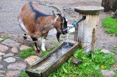 Goat drinking water. Pregnant goat drinking water from the tap royalty free stock photo