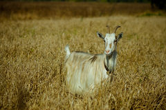 Goat in the dry grass Royalty Free Stock Photography