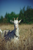 Goat in the dry grass Stock Image