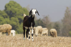Goat in dry meadow Royalty Free Stock Photos