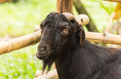Goat in Du-sit zoo Stock Photography