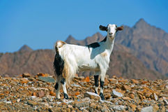 Goat the Dubai Desert. A mountain goat in the Desert with mountains in the background Stock Photo