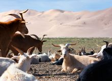 Goat - dune desert Royalty Free Stock Photography