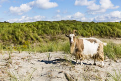 A goat in the Dutch dunes. At Westland, Netherlands Royalty Free Stock Photos