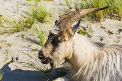 A goat in the Dutch dunes Stock Images