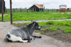 Goat on Dutch farm Royalty Free Stock Image