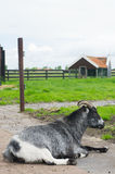 Goat on Dutch farm Stock Photo