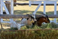 Goat eat Stock Photo
