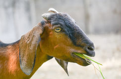 Goat eat grass. At zoo Stock Photography