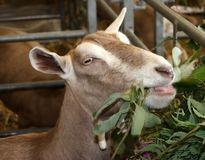 Goat Eating Royalty Free Stock Image