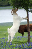 Goat eating. A male goat standing on a tree eating the leaves in a field of bluebonnets Royalty Free Stock Photo