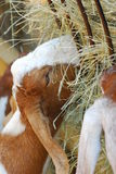 Goat Eating. A goat on a farm is eating hay Stock Images