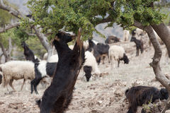 Goat eating Argan Nuts in Morroco Stock Photography