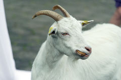 Goat eating bread Royalty Free Stock Images