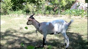 Goat eating brunches. Close up video stock video