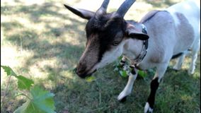 Goat eating brunches. Close up video stock video footage