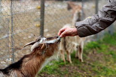 A goat eating a candy. A goat is eating a candy from the hands of someone Royalty Free Stock Images