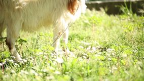 A goat eating daisy flowers, Turkey stock video