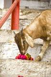Goat eating flowers in Varanasi, India Royalty Free Stock Image