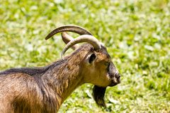 Goat eating fresh grass Royalty Free Stock Photography