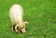 Goat eating grass Royalty Free Stock Photos