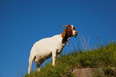 Goat eating grass Stock Image