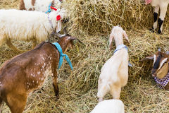 Goat eating grass. On background Royalty Free Stock Image
