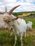 Goat eating grass. Goat chewing grass standing Royalty Free Stock Images