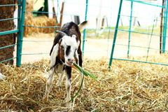 Goat eating grass. On  farm Royalty Free Stock Image