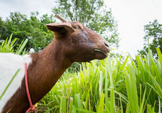 Goat eating grass. In farm from central of Thailand Royalty Free Stock Photos
