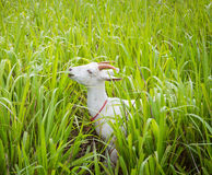 Goat eating grass. In farm from central of Thailand Stock Photo