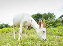 Goat eating grass. In farm from central of Thailand Royalty Free Stock Photography