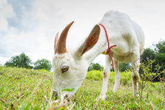 Goat eating grass. In farm from central of Thailand Royalty Free Stock Image