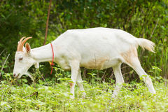 Goat eating grass. In farm from central of Thailand Royalty Free Stock Images