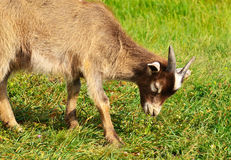 Goat eating grass on fild Royalty Free Stock Photography