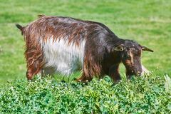 Goat Eating Grass Stock Photos