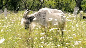 Goat eating grass stock video footage
