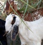 Goat wondering in rural Indian landscape. stock photos