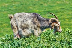 Goat Eating Grass Royalty Free Stock Photography