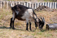The goat eating grass Royalty Free Stock Photo