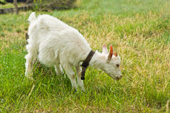The goat eating grass Stock Photography