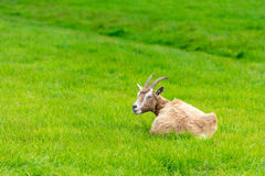Goat eating of green grass at farm Royalty Free Stock Photography