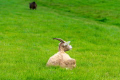 Goat eating of green grass at farm Stock Photography