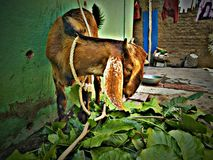 Goat eating green leafs stock photos