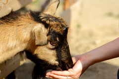 Goat eating from hand Stock Image