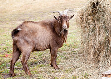 Goat eating hay in autumn Stock Photos