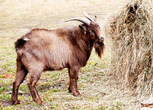 Goat eating hay in autumn Stock Image
