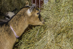 Goat Eating Hay Stock Image